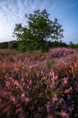 Die Westruper Heide